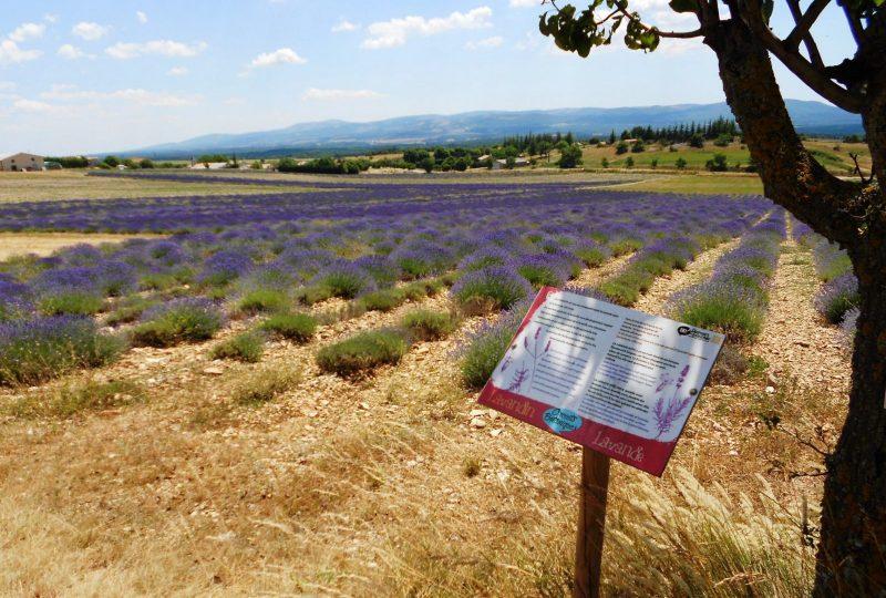 Sentier botanique des lavandes à Ferrassières - 3