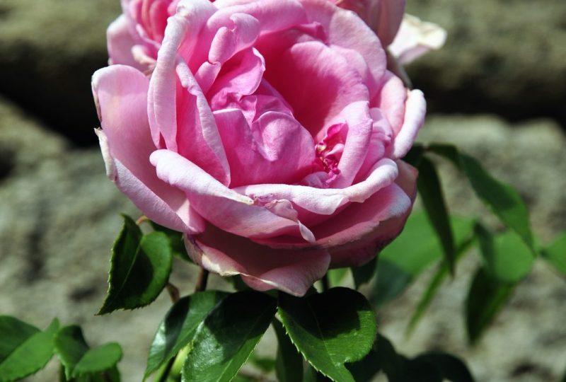 Association Grignan Pierres et Roses Anciennes à Grignan - 0