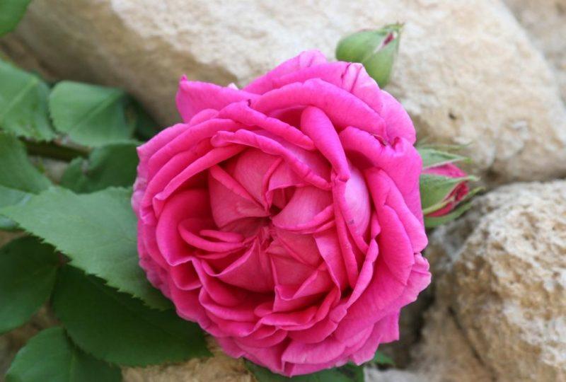 Circuit des roses anciennes dans le village à Grignan - 0