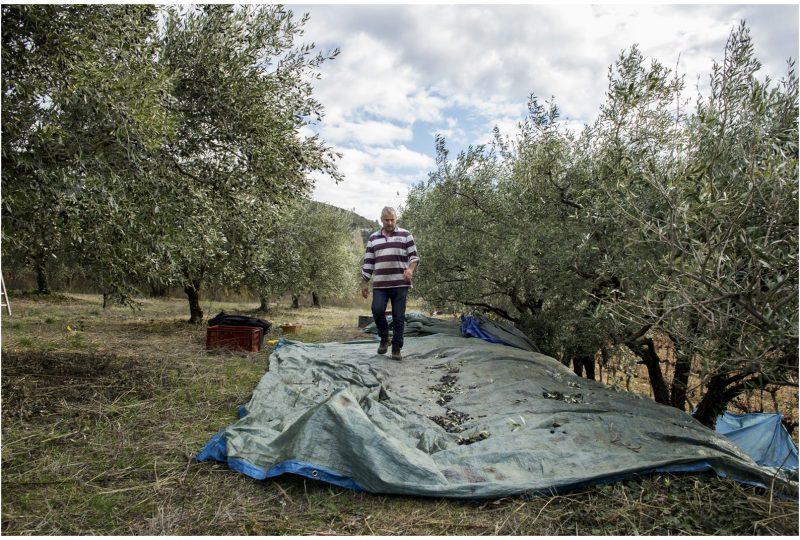 Domaine Piallat – Olive à Montbrison-sur-Lez - 4